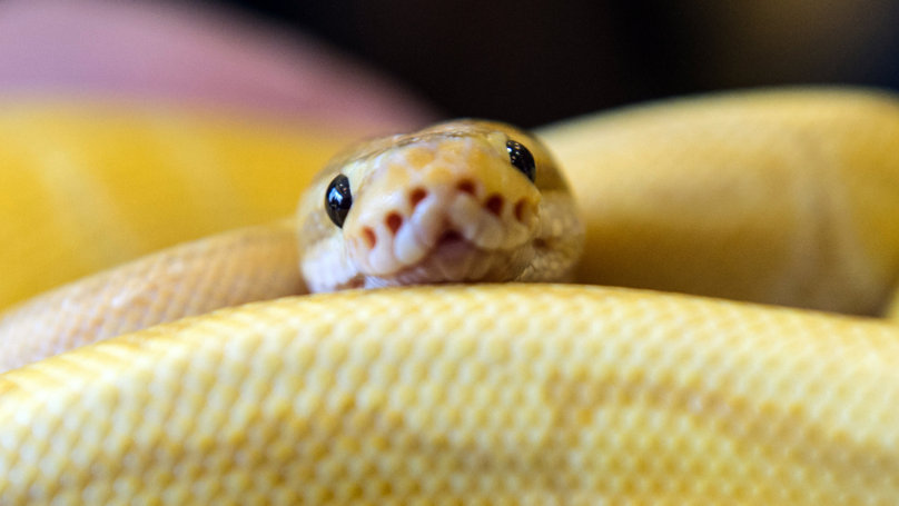 Woman Wakes Up To Find A Royal Python In Her Bed