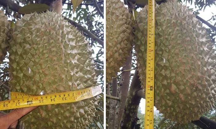 Tak durian giant Giant 18-kg Tak put on auction