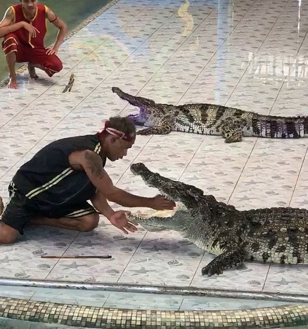 Video: Handler Attacked By Crocodile After Putting Arm In Its Mouth In Front Of Crowd