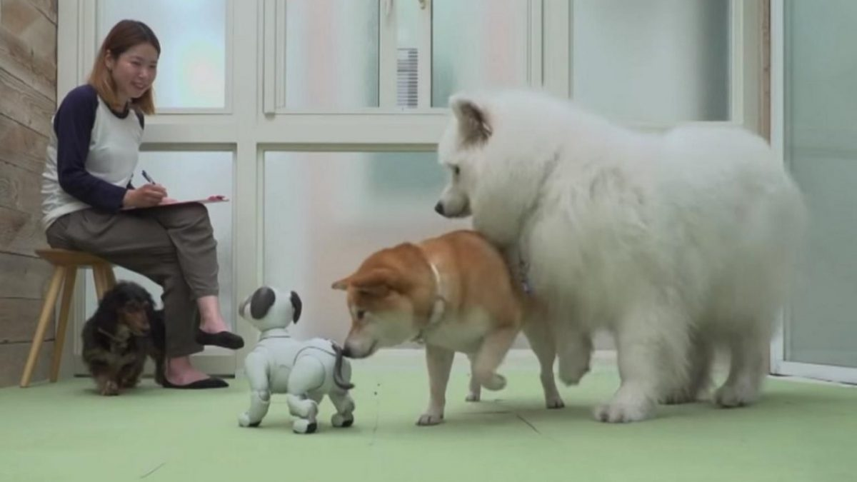 Robot dog Aibo can make friends with real dogs and teach them social skills, says Sony