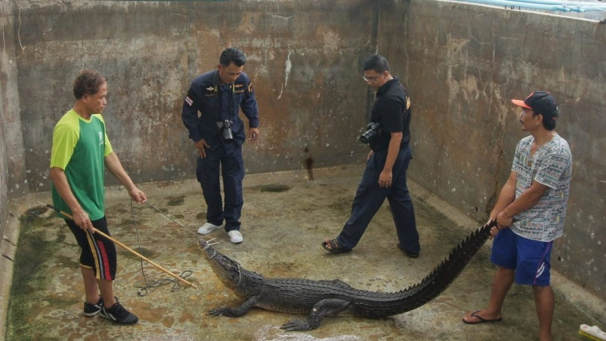 Rogue crocodile could be a mixed breed: expert