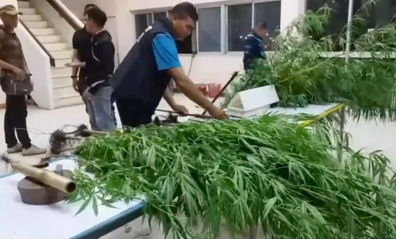 50 marijuana plants seized from corn plantation