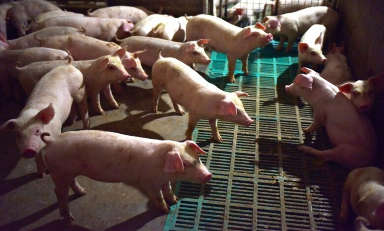 Airport ups measures to detect swine fever coming from China
