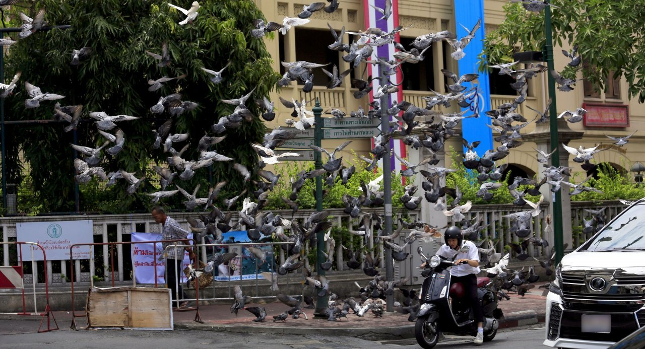 BMA set to swoop on pigeon fanciers. BANGKOK has too many pigeons, according to health officials, and anyone caught feeding