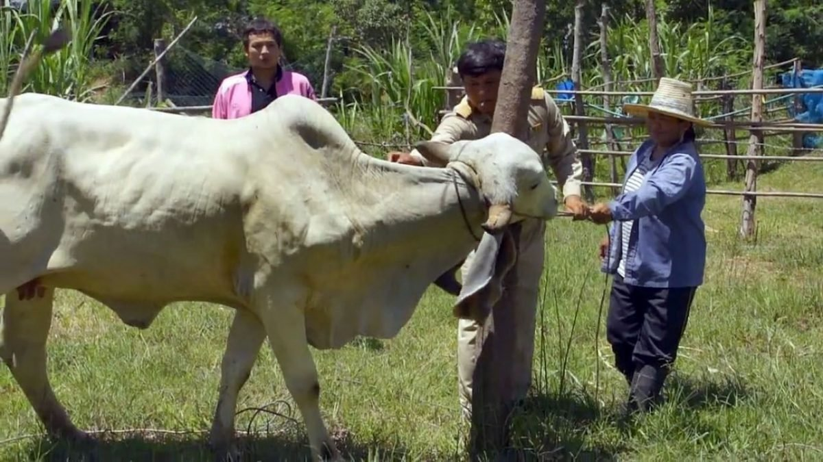 Korat villagers need treatment after dining on rabid cow