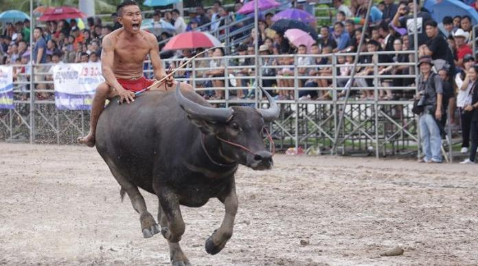Buffalo Racing Festival hits Chonburi area on October 23rd