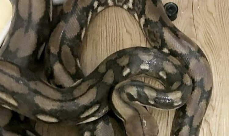 14 foot Python found by surprised man in public toilet, amazing video. A local Thai resident who felt the call of nature went to a public toilet near a rest