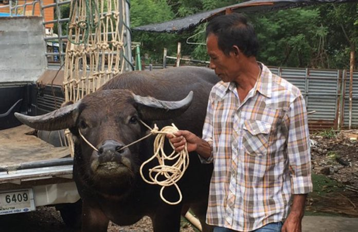 SMILING BUFFALO SEIZED BY POLICE, IMPOUNDED AS EVIDENCE