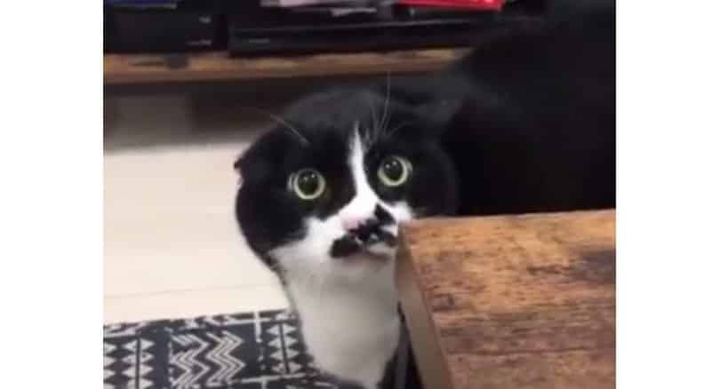 WATCH: Weird cat cries out 'loliloli' instead of 'meow'