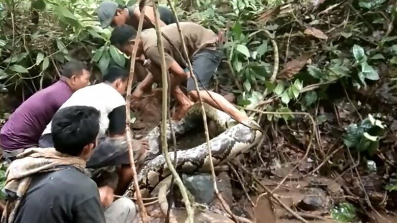 Great snakes! Indonesians wrestle with giant python. A viral video showing a gigantic python wrapping itself around an Indonesian