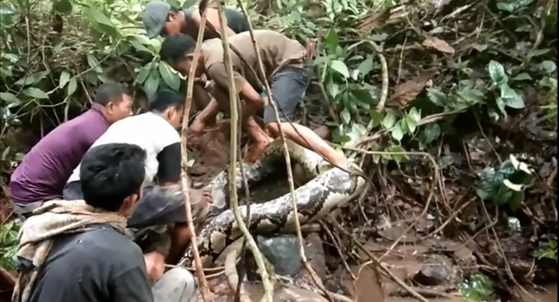 Great snakes! Indonesians wrestle with giant python