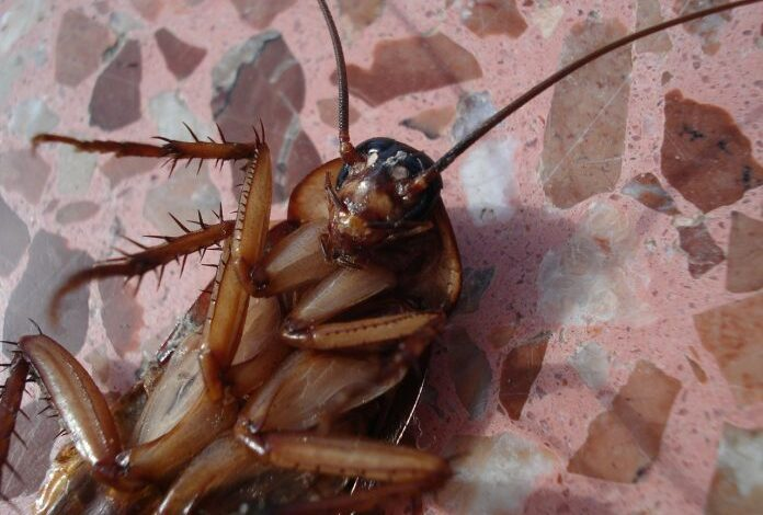 NO REALLY, DO NOT EAT COCKROACHES: THAI HEALTH DEPARTMENT. In case there's any doubt whether the cockroaches creeping into your home
