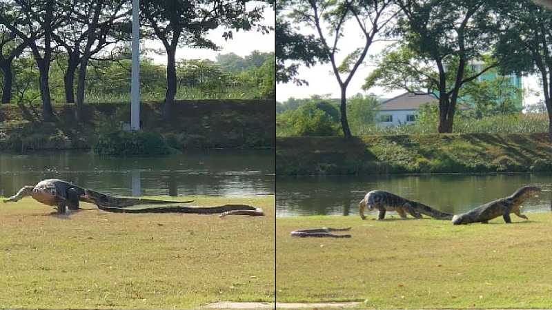 Video: Reptilian Rumble: Giant monitor lizard fights python in middle of Thai university