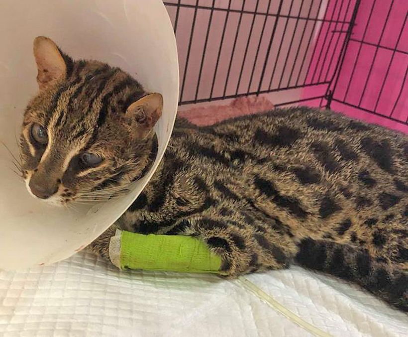 Leopard cat injured by car in Thalang showing little sign of improvement. The condition of the leopard cat, which was hit by a car in Phuket's Thalang.