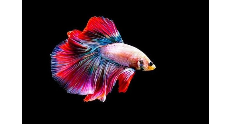 Fighting fish becomes national symbol in boost for industry. The Cabinet on Tuesday gave its approval for the Siamese fighting fish to become