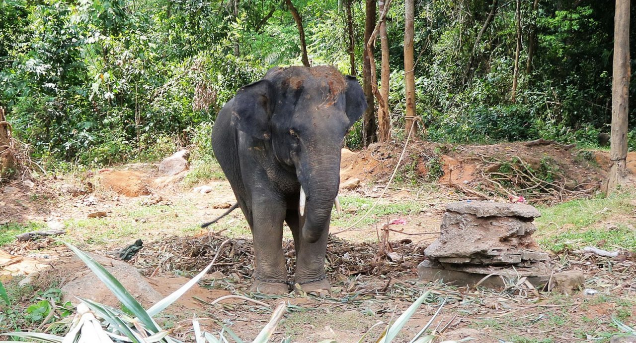 Italian tourist seriously injured in goring by bull elephant at private Phang-Nga park