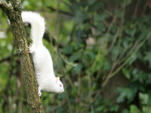 Super-rare albino squirrel pictured in UK. Amateur photographer spots creature nibbling crab apple by Lincolnshire canal. An incredibly rare albino squirrel