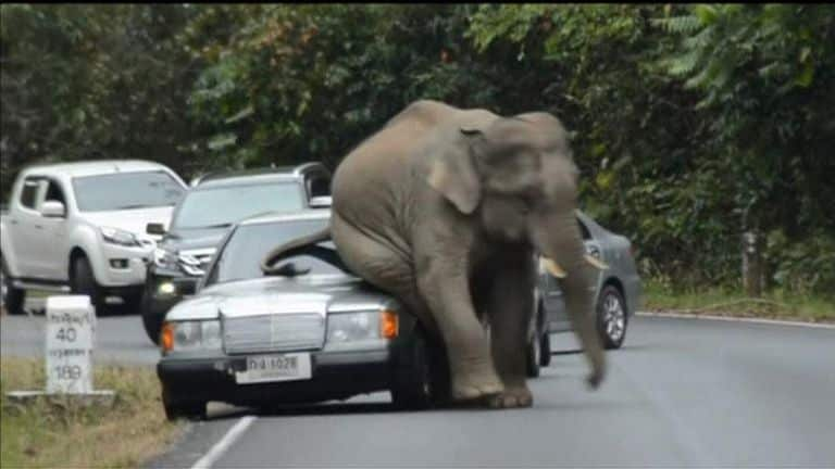 Elephant Comes Stomping At Couple's Car. This is the nerve-racking moment a driver and his wife cowered in fear under the dashboard