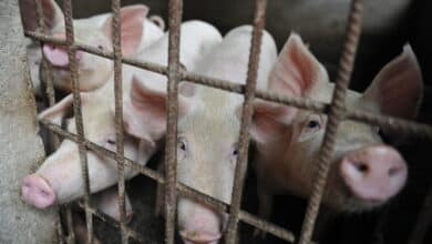 African Swine Fever sweeping through Vietnam. Vietnam Culls More Than 1.2 Million Pigs Infected as African Swine Fever sweeps through the country.