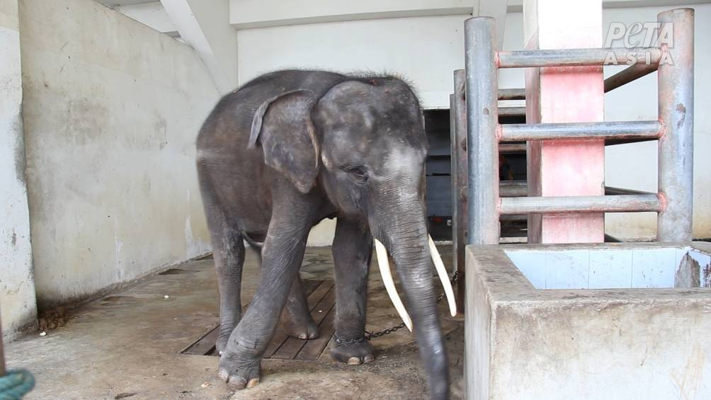 VIDEO: Investigation Reveals Torture Of Elephants And Primates In Thailand