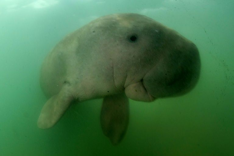 10th dugong found dead in the sea off Trang province