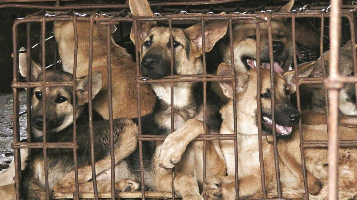 British sisters save dogs from meat trade in Thailand