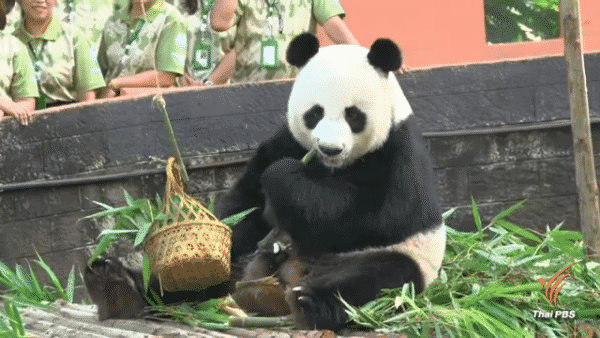 Chinese veterinarians arrive in Chiang Mai to probe into Panda death