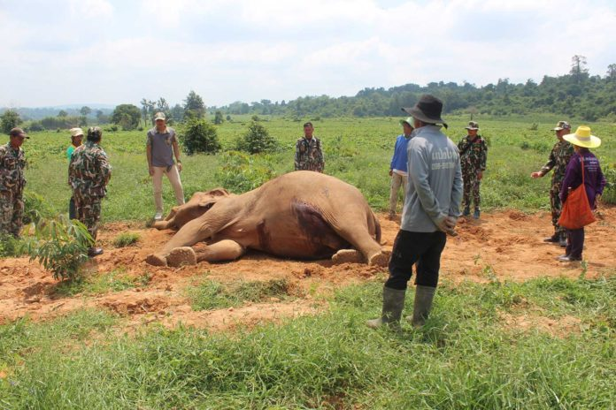 Female elephant GORED TO DEATH by bull male in Thailand