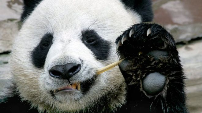 Giant panda death in Thailand leaves China asking questions