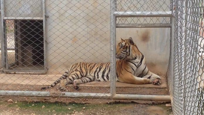Half of the Tigers Seized from Tiger Temple Now Dead