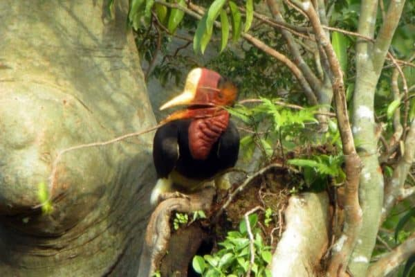 Helmeted Hornbill to be listed as conserved species to save it from hunters