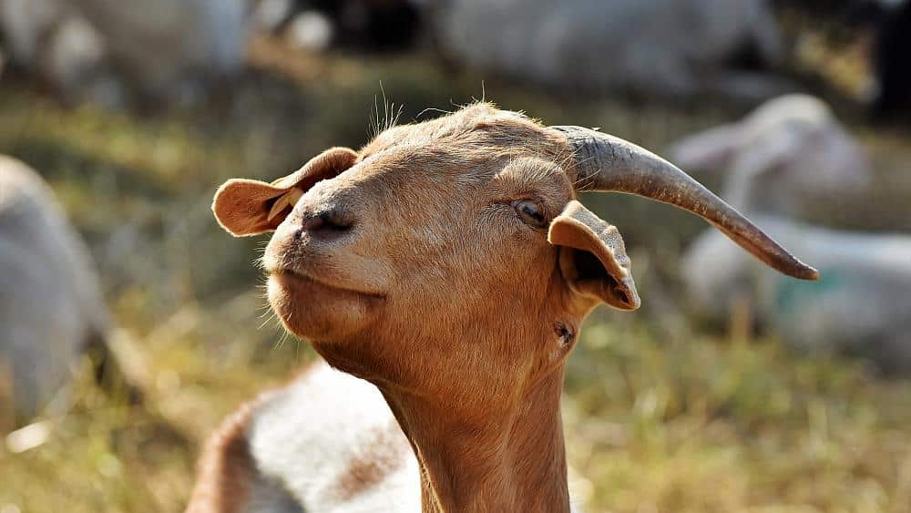 Not kidding: Goats outnumber humans 12-to-1 on this Greek island