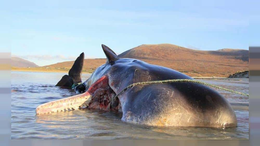 100kg 'ball of rubbish' found in stomach of whale on Scottish beach